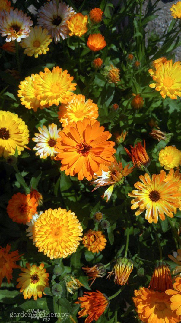 More Than Just a Garden Beauty How to Dry, Use, and Grow
