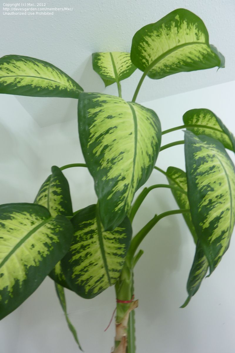 Identifying House Plants By Leaves house plants identifypic | plant identification: mxc picture