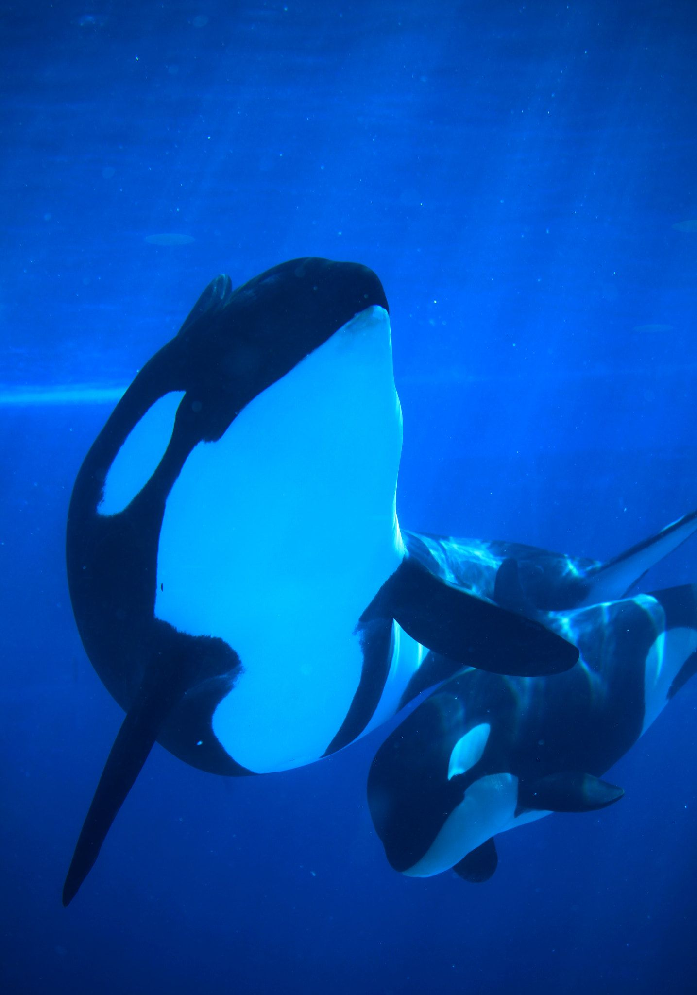 Pin de Luna Noel Seawolf en Orca LOVE! | Pinterest | Tiburones ...