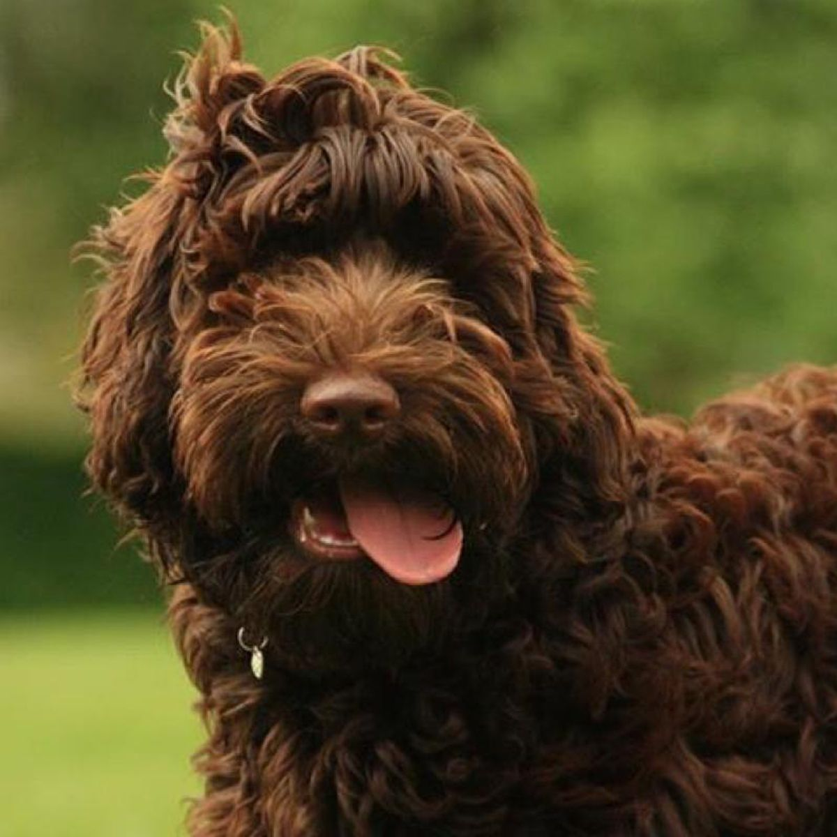 Newdoggysignup Cooper The Labradoodle From Edinburgh Just Wants To