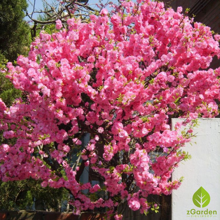 Migdalek Trojklapowy W Formie Krzewu Planting Shrubs Most Beautiful Flowers Ornamental Trees