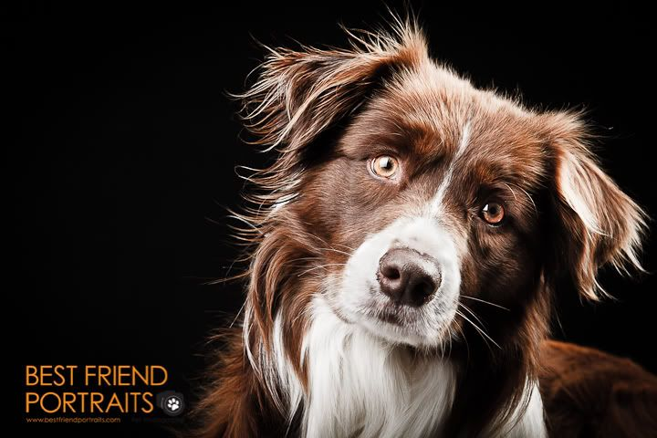 Dog Photography- 2 Light setup, Black Background tips ...