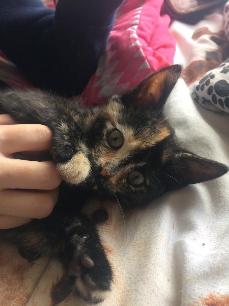 Kitten For Sale 10 Weeks Old Kitten For Sale Cute Animals Kitten