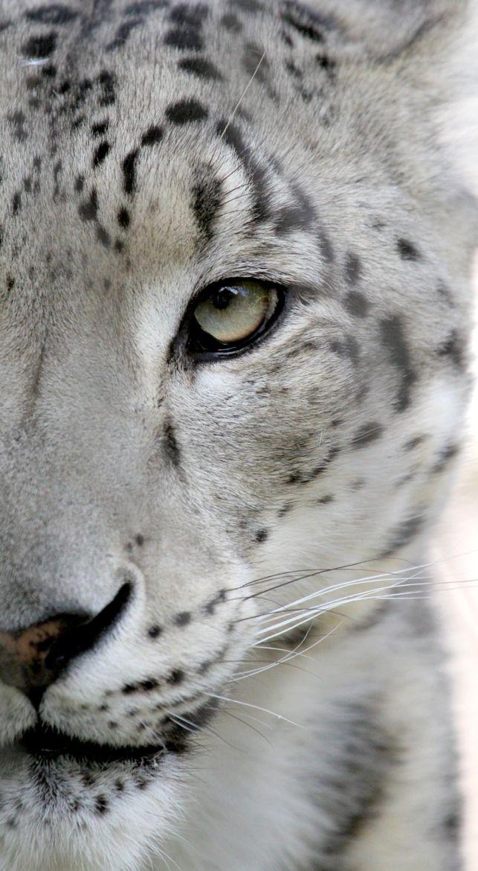 Snow Leopard  by Parasaran Raman