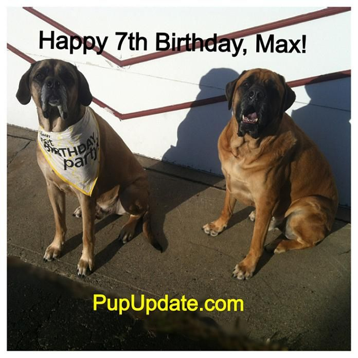 Happy 7th Birthday Max English Mastiff Go To Www Pupupdate Com