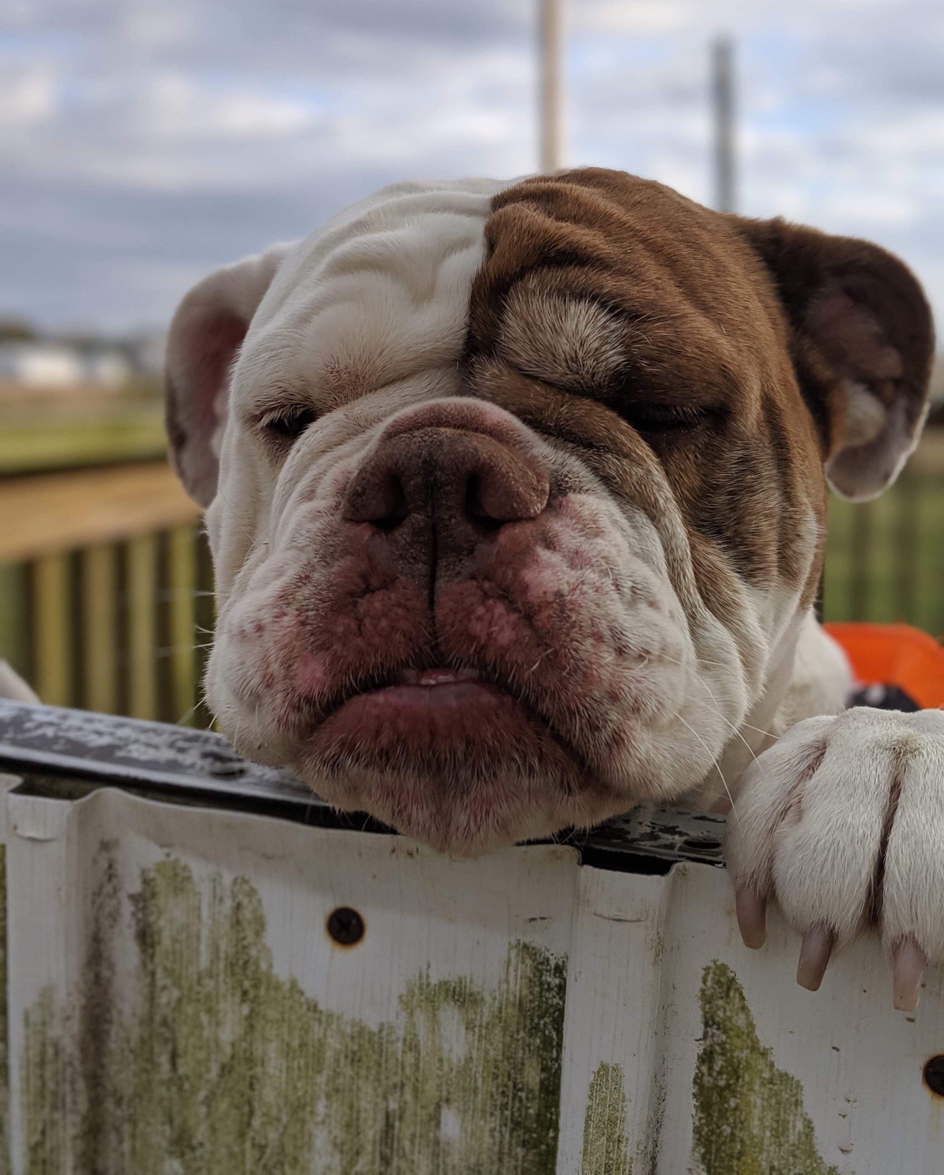 Adopt Ava on Petfinder English bulldog dog, Help