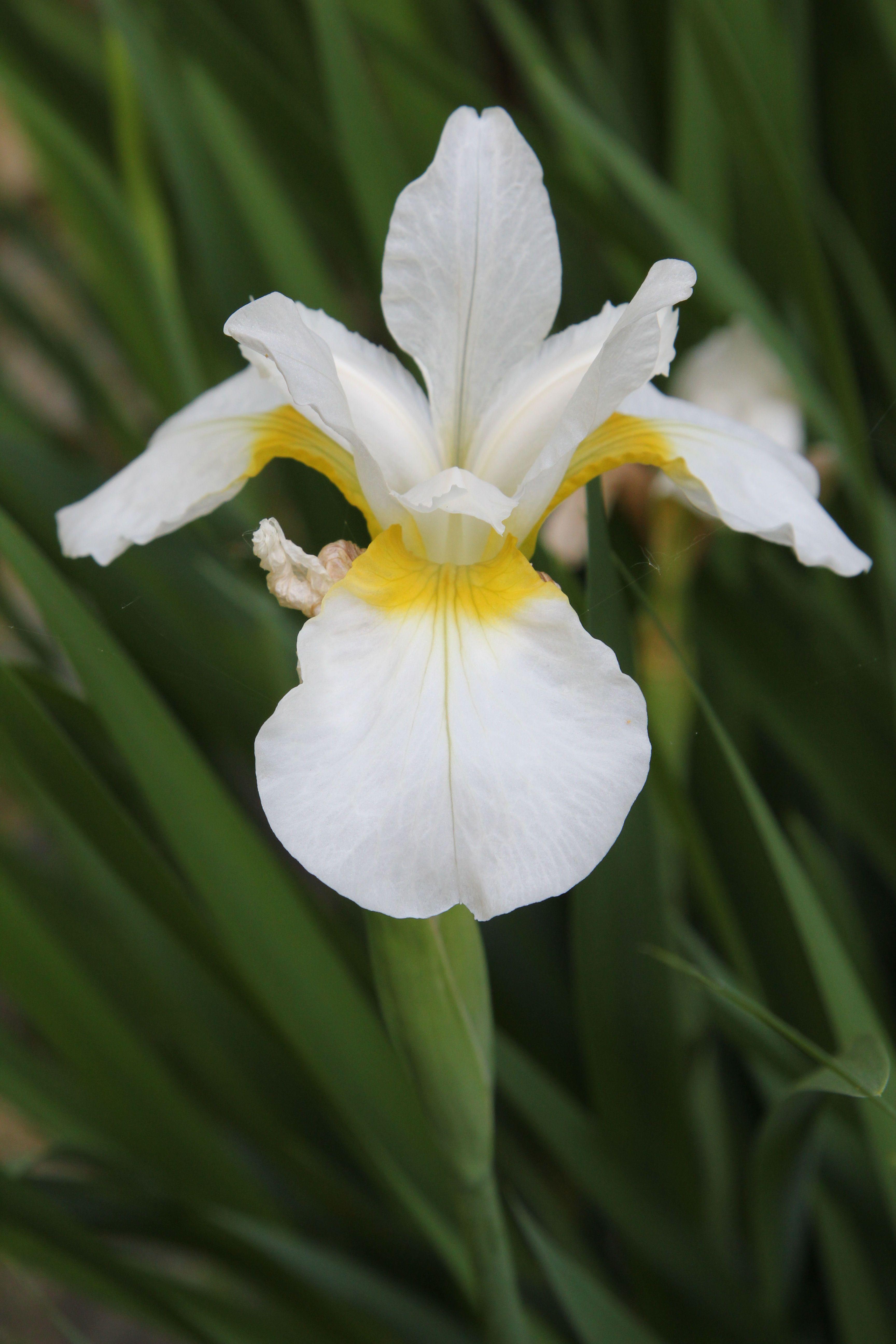 White iris flowers pinterest white iris iris and flowers white iris izmirmasajfo