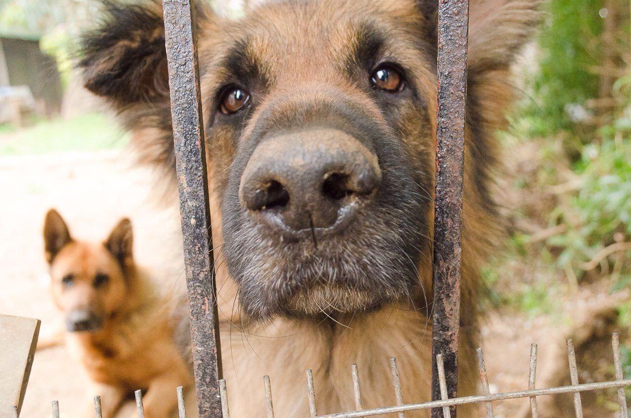 Pastor Alemán #dog