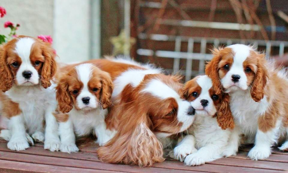 Happy Mother S Day To All The Wonderful Moms Out There Both Human And Canine Cavalier King Charles Dog King Charles Dog King Charles Cavalier Spaniel Puppy
