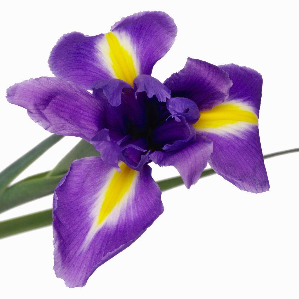 25th anniversary iris
