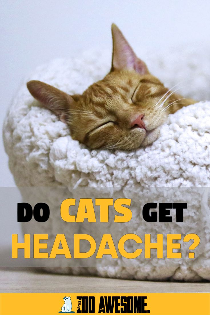 Do Cats Get Headaches? in 2020 (With images) Cat advice