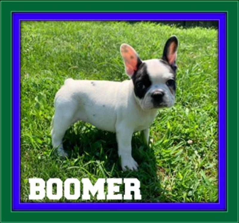 Boomer Male French Bulldog Akc 1800 Http Www