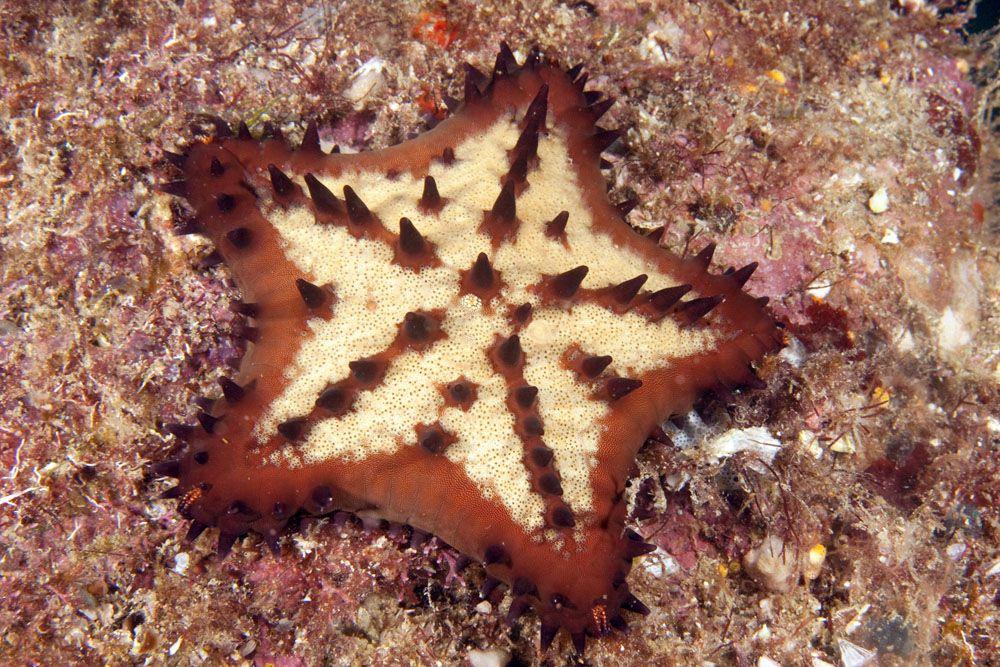 Chocolate Chip Sea Star Echinoderm Sea Star Saltwater Tank