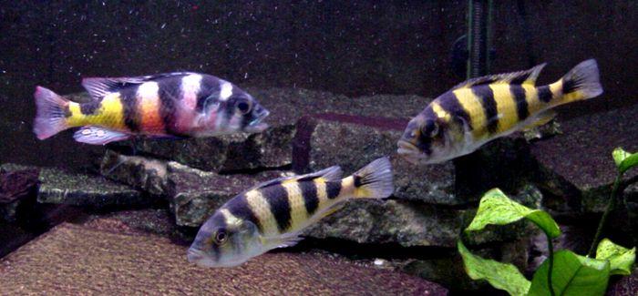 A Male And Two Female Zebra Obliquidens Astatotilapia Latifasciata Sexually Dimorphic The Females Are Also Quite African Cichlids Cichlid Aquarium Cichlids