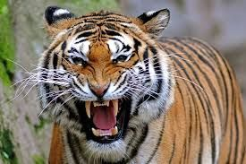 Image result for wild tigers