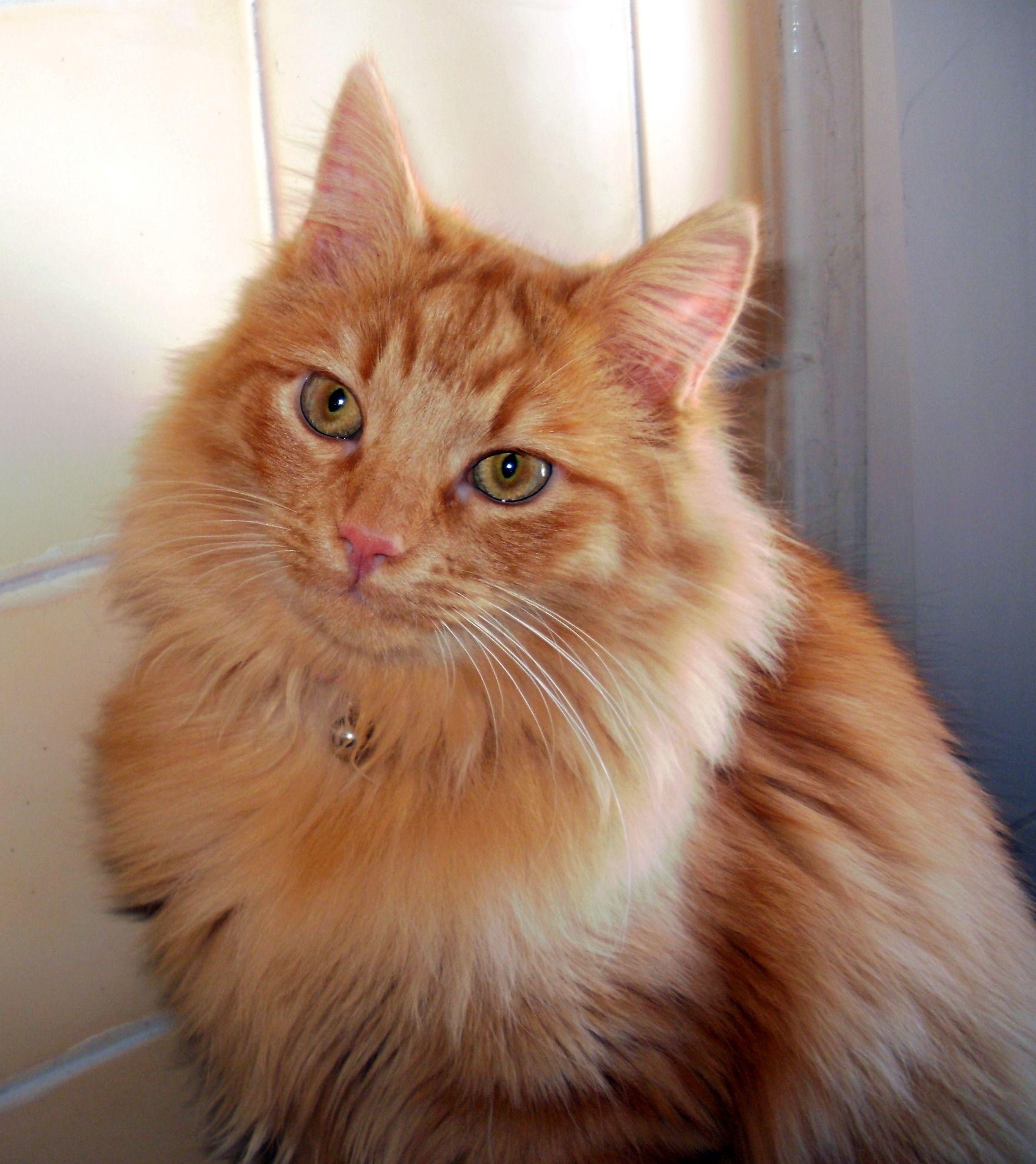 Gatto norvegese delle foreste rosso gatti pinterest for Gatto della foresta norvegese