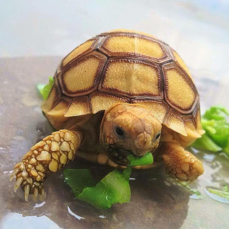 Sulcata tortoise … Baby tortoise, Sulcata tortoise, Turtle