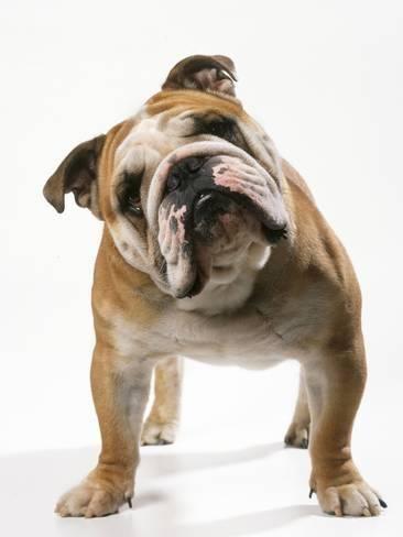 Photographic Print Bulldog 24x18in Bulldog Puppies English