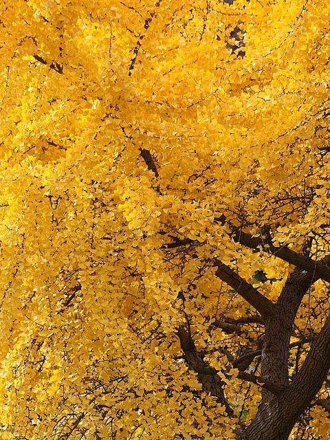 Mitsu Gingko Tree Wallpaper