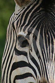 Zebra Face Free Stock Photos Zebra Zebra Face Zebras