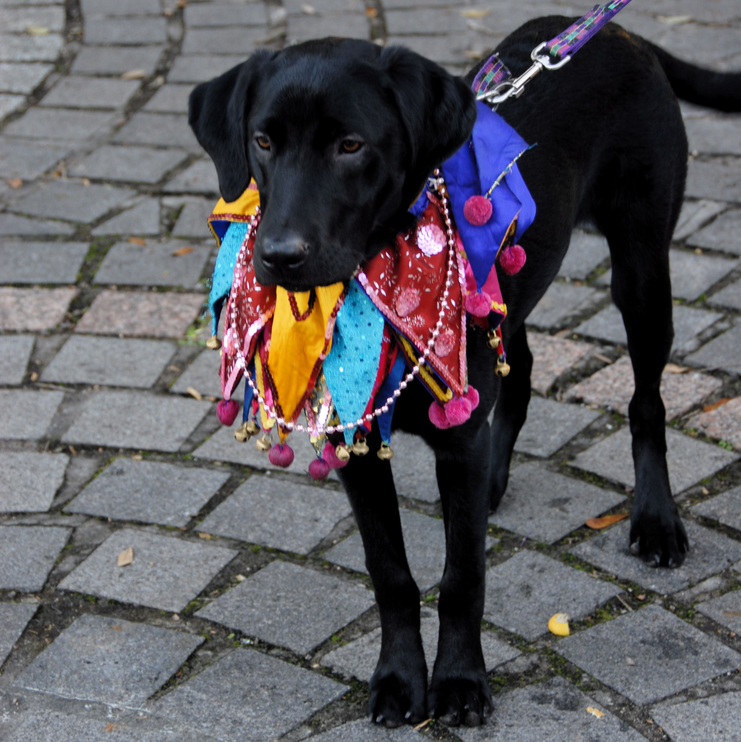 Her First Barkus Mardi Gras Dog Parade In New Orleans A Few Years