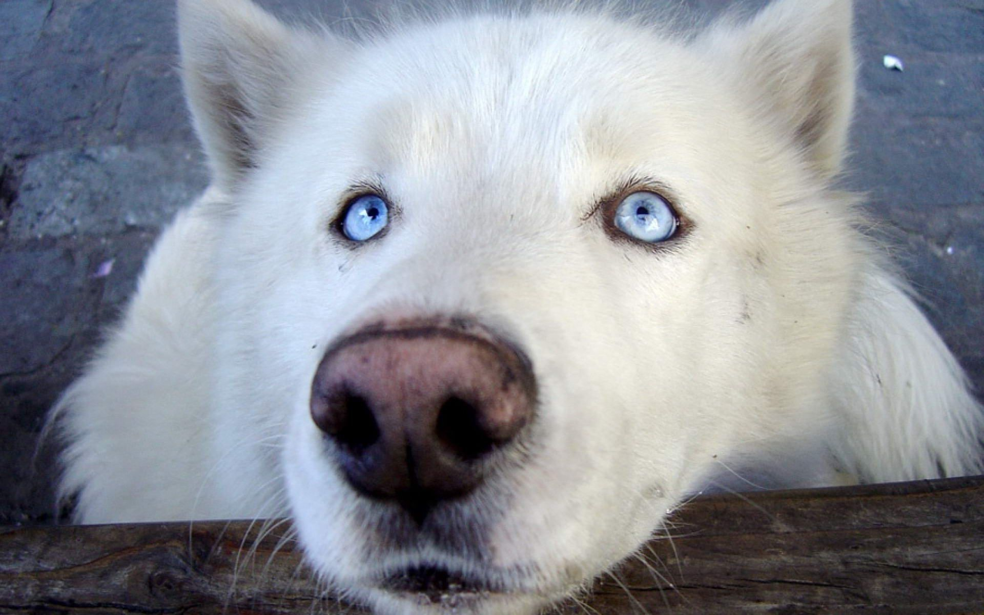 Black Wolf With Blue Eyes White Wolf With Blue Eyes Wallpaper