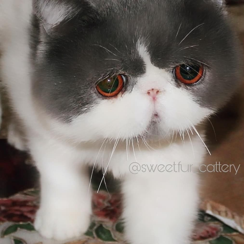 Our Doll The Father ما شاء الله اكزوتيك شورت هير By Sweetfur Cattery Animals Cats