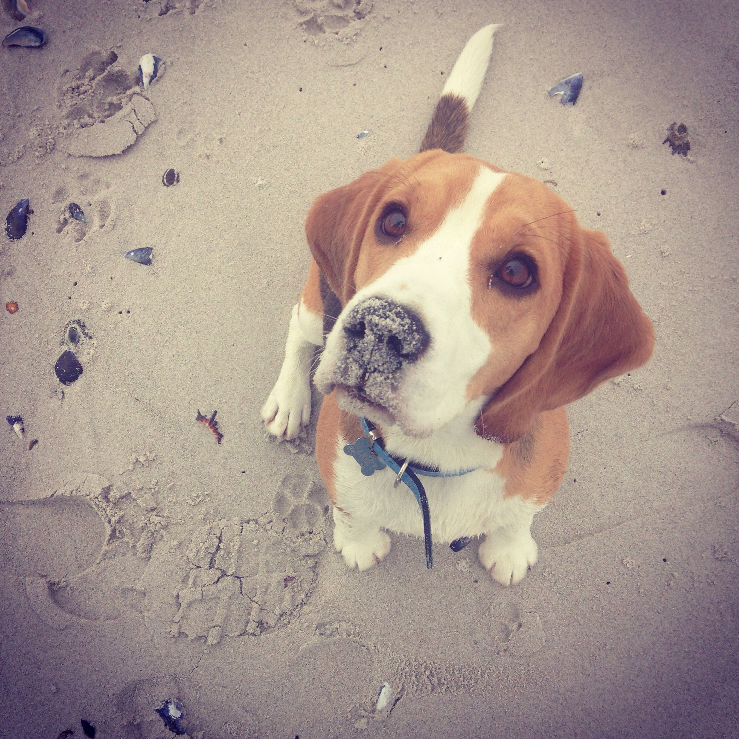 Who Ever Said Beagles Don T Enjoy The Beach Nose Down Tail Up