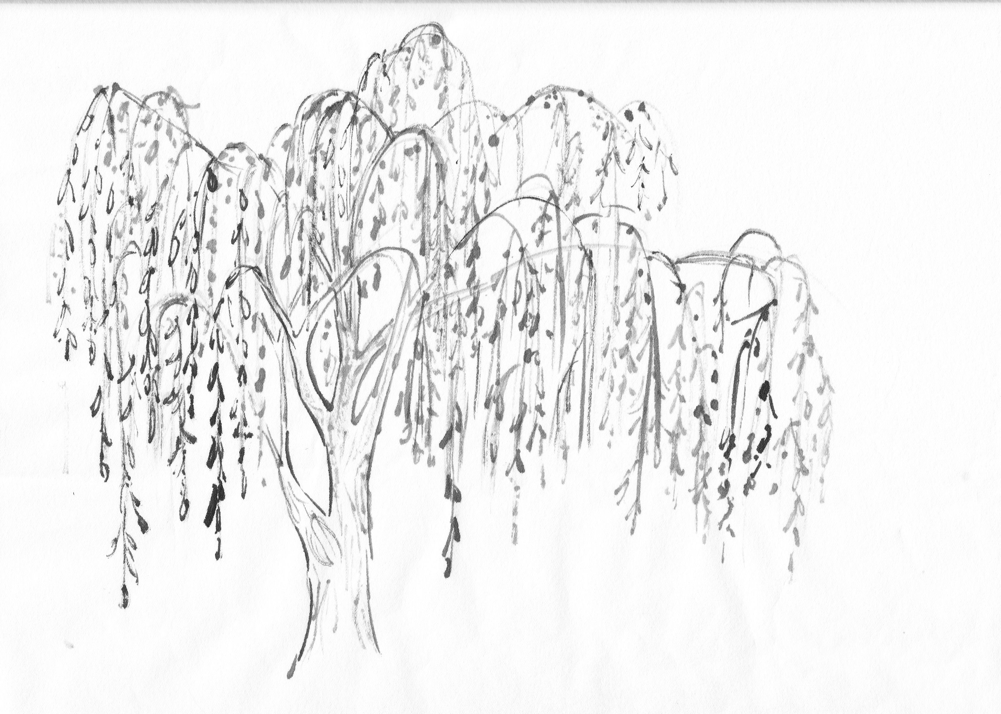 willow tree clipart [ 3397 x 2424 Pixel ]