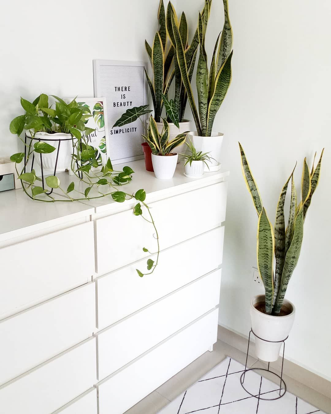 Sansevieria Snake Plant Golden Pothos Air Purifying House Plants Clean Healthy