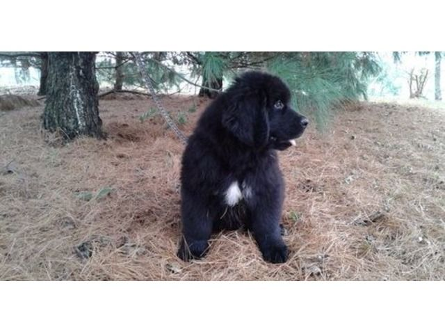 Our Lovable Newfoundland Puppies Available Newfoundland Puppies Puppies Newfoundland