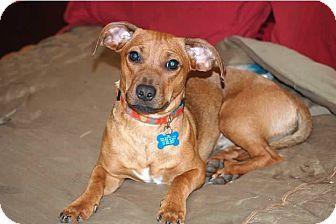 St Louis Mo Dachshund Mix Meet Chex A Dog For Adoption Http