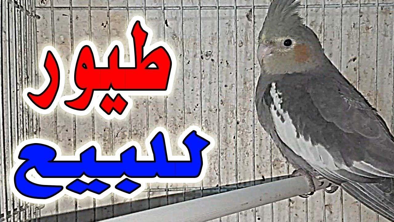 طائر الكناري الفريزي وطيور الكروان عند الأخ كريم لمن يهمه الأمر Novelty Sign Birds Novelty