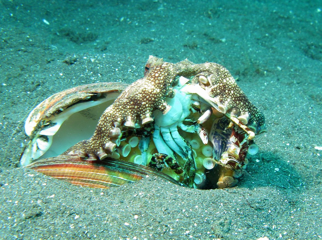 #Veinedoctopus eating a crab Nearly all #octopuses are ... - photo#10