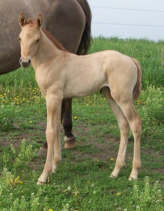 Red dun quarter horse foal | Quarter Horse | Horses ...