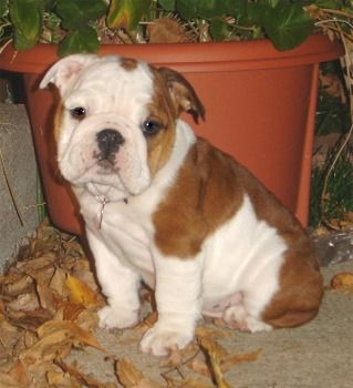 The Kids Will Have One Of These Someday Love Them Bulldog
