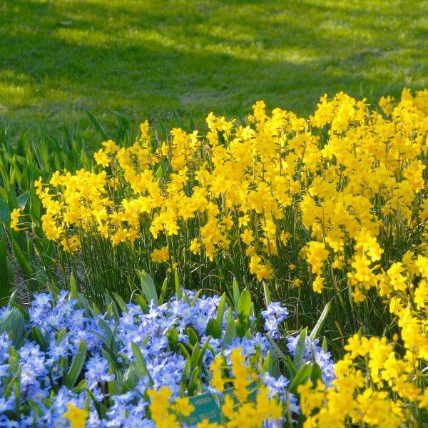 Kleine Blüten in Gelb und Blau - Narzisse fernandesii und ...