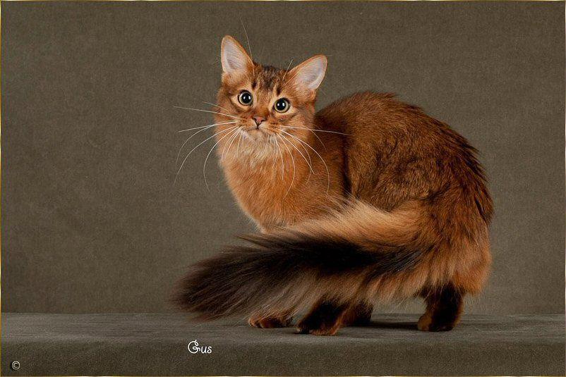 Ruddy Somali looks like half fox half Cat