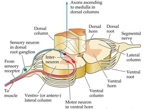 Spinal Cord Cross Sectional Anatomy Spinal Cord Pinterest