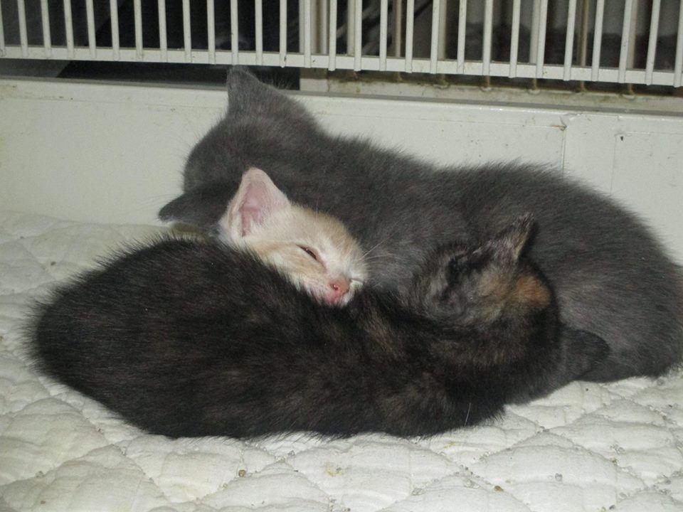 #kittens #cats #petshop #torrance #southbay  5141 Calle Mayor  Torrance CA 90505 310-378-3052 www.animalloverspetshop.com