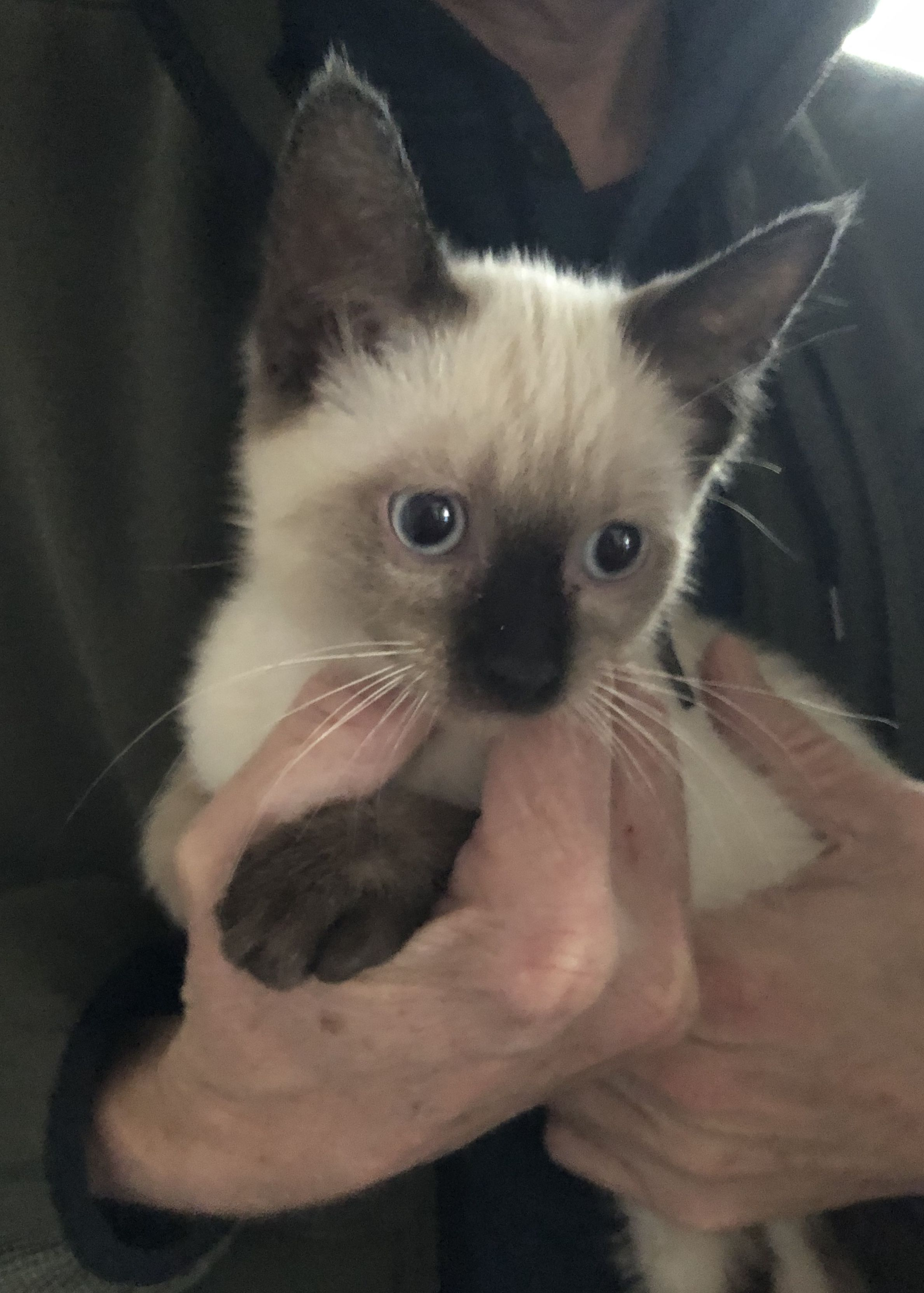 Pin By Lori Sexton On Chocolate Point Seal Point Siamese Siamese Cats Blue Point Siamese Cats Cats And Kittens