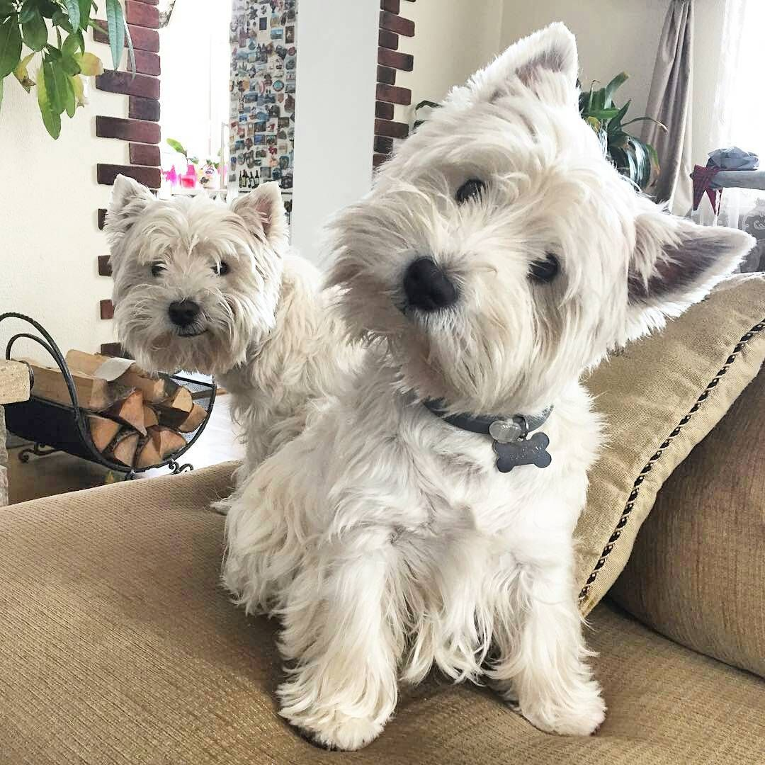 Image result for westie sofa