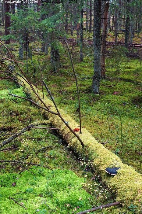 Maatuminen - maapuu lahopuu luonnon monimuotoisuus lahoaminen maatuminen sammal luonnonmetsä luonnontilainen kuusi kuusikko tuore kangas metsä havumetsä maatua Valkmusan kansallispuisto Pyhtää metsähallitus
