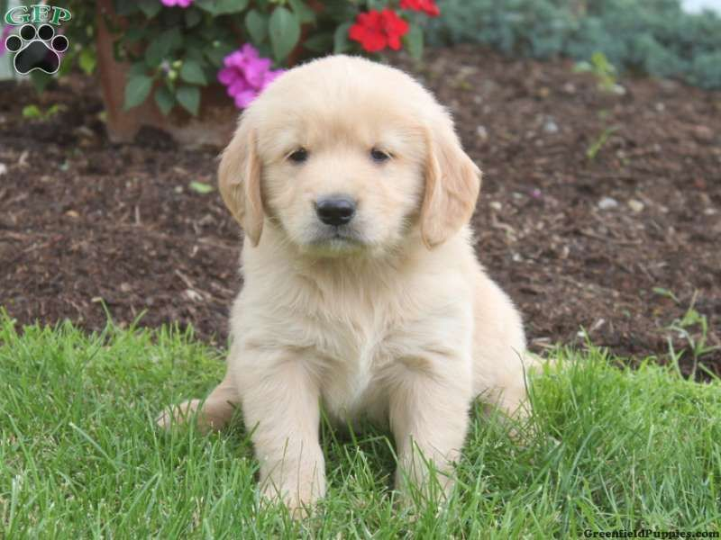 Carl Golden Retriever Puppy For Sale In Lititz Pa Greenfield