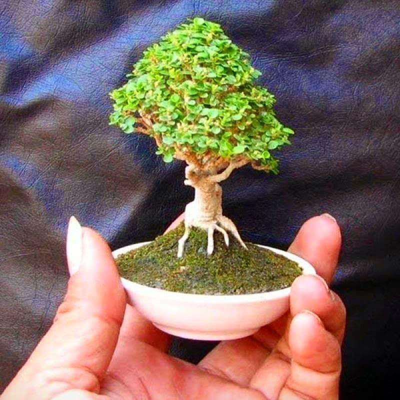 Jogja Botani sur Instagram: «. . . #bonsai #bonsaip / #Bonsaï #bonsaip #Botani #Instagram #Jogja #sur