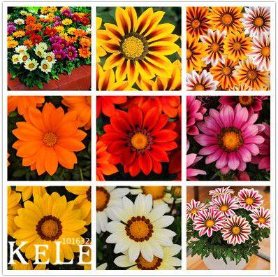 Time-Limit!!Gazania seeds multicolor mixed Seed beautiful gazania Flower seeds,  100pcs/Lot ,#WA3IGW #clothing,#shoes,#jewelry,#women,#men,#hats,#watches,#belts,#fashion,#style