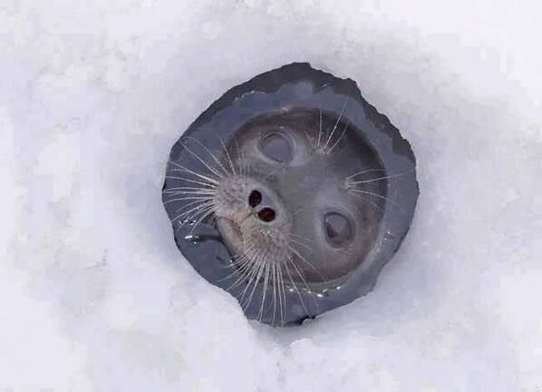 Awesome Shot of Cute Seal pic.twitter.com/872CiwWF5Z