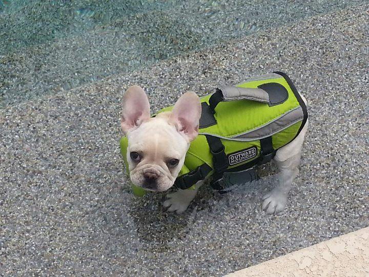 Leroy In His Life Vest French Bulldog Bulldog