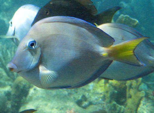 Atlantic Blue Tang Surgeonfish Fish Caribbean Sea Sea And Ocean