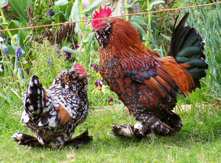 Barbu d'Uccle (Belgian breed) | Bantam chickens, Chickens backyard ...